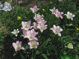 Лилеецветные тюльпаны