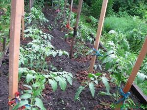 Помидоры (томаты) - посадка и уход