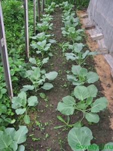 капуста белокочанная - выращивание