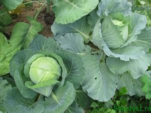 Как получить богатый урожай кочанов капусты