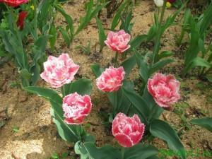 Тюльпаны в цветнике