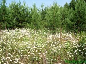 Целебные травы - ромашка