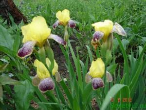 многолетние цветы ирисы