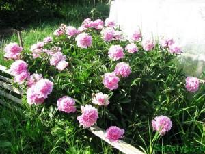 пионы розовые