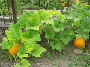Выращивание тыквы и уход