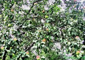 Уход за яблонями летом в саду