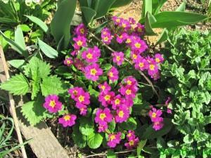 примула весенний цветок