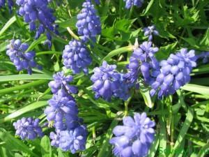 Луковичные цветы - посадка (мускари)