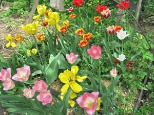 Луковичные цветы - посадка ( тюльпаны)