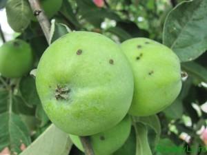 яблоки на хранение