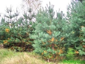 Сосновый лес гибнет