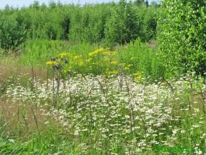 Луговые лекарственные травы