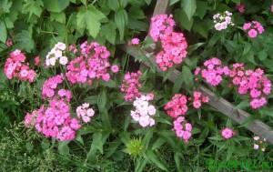 Вырастить рассаду цветов (гвоздика Шабо)