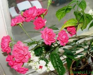 Комнатная роза - денежное дерево