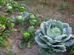 Укрепляющие процедуры для капусты осенью