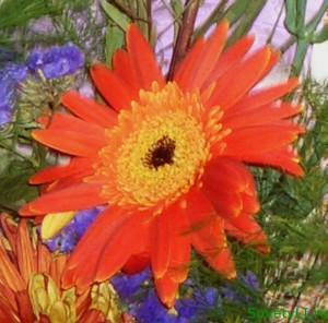 Цветочные приметы - гербера