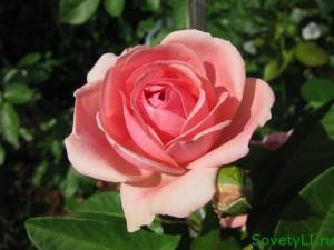 Цветочные приметы - роза