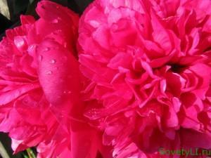 Цветы пионы - посадка , уход