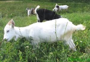 Встречаем год Овцы (Козы)