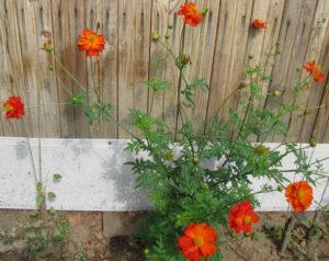 Космея махровая - однолетники в саду