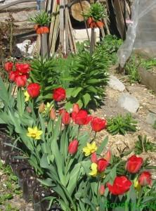 весенние цветы, тюльпаны, нарциссы, рябчик императорский