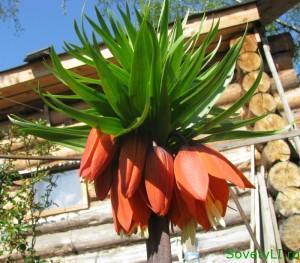 Рябчик императорский, многолетний цветок