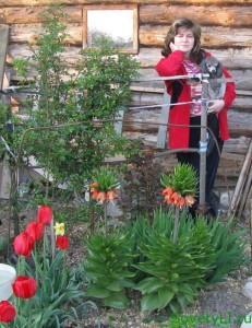 зацвели тюльпаны и рябчик императорский