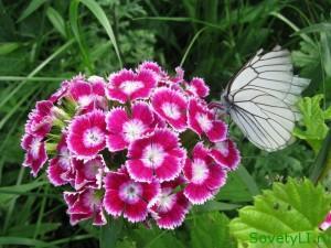 боярышница на цветке