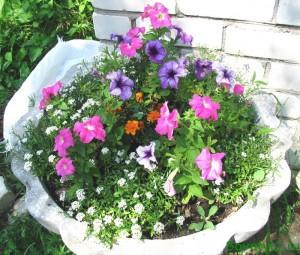 Петунья - выращивание рассады, клумба на даче