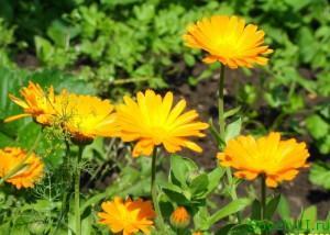 Полезные цветы в огороде, цветы защитники - календула