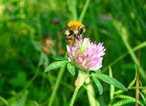 Полезные цветы в огороде, цветы защитники - клевер