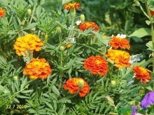 Полезные цветы в огороде, цветы защитники - бархатцы