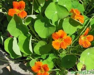 Полезные цветы в огороде, цветы защитники - настурция