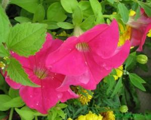 Полезные цветы в огороде, цветы защитники - петунья