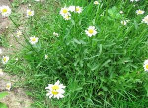 Полезные цветы в огороде, цветы защитники - ромашка