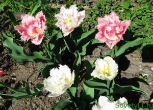Тюльпаны махровые-бахромчатые - когда высаживать