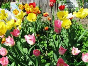 Тюльпаны разноцветные - когда высаживать луковичные