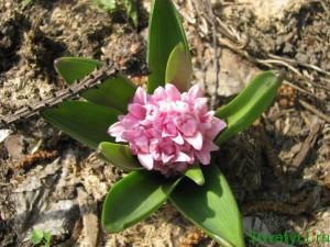 Гиацинт - когда высаживать луковичные цветы