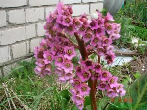Бадан толстолистный многолетнее растение