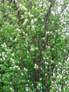 Цветущая ирга в саду