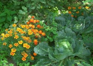 Лекарственные бархатцы в огороде на грядке с капустой