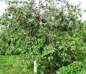 Спелая вишня в саду