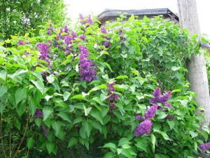 Сорень обыкновенная на даче, в саду
