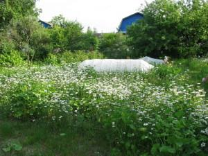 Сажаем лекарственные травы на участке, ромашка