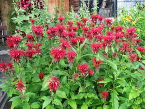 Сажаем лекарственные травы, цветок манарда в саду
