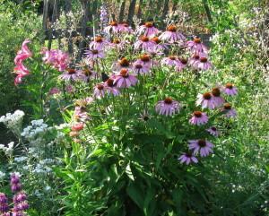 Цветок эхинацея лекарственная в саду