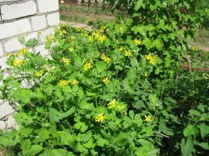 Сажаем лекарственные травы, чистотел в саду