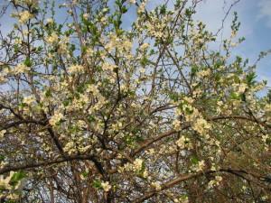 Цветущая яблоня в саду