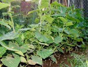 Мозаика вирусное заболевание растений, начальная фаза