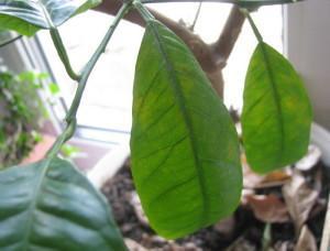 Мозаика вирусное заболевание растений. поражает и комнатные растения
